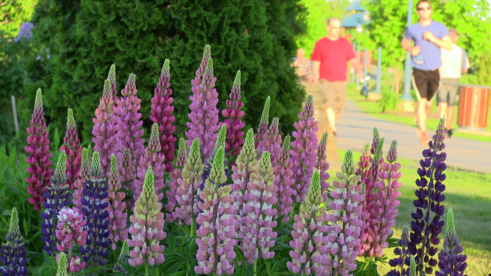 Photo de lupins - Ile Pozer.